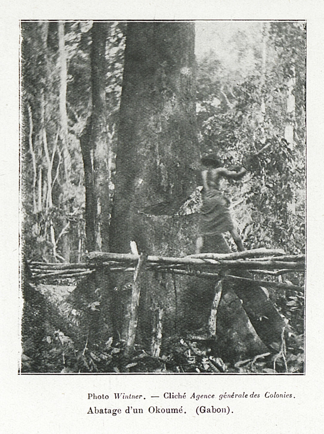 Archival picture: cutting an Okoumé tree